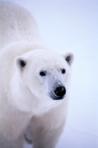 IR Scattering wärmt nicht nur den Eisbären